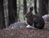 Snowshoe hare.jpg
