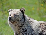 Grizzly face.jpg