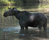 Moose in the creek near Jackson Lake.jpg