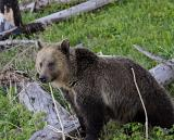 Grizzly among the logs.jpg