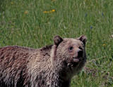 Grizzly in the meadow.jpg