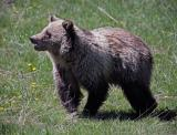Grizzly in the meadow with flowers.jpg