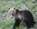 Grizzly among the wildflowers.jpg