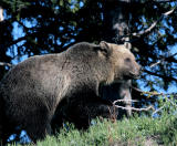 Grizzly on the hill looking forward.jpg