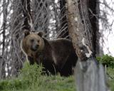 Grizzly in the trees.jpg