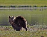 Grizzly in motion.jpg