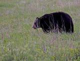 Black Bear among the wildflowers.jpg