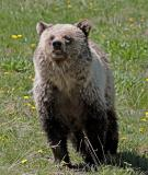 Angry Grizzly.jpg