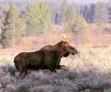 Moose on the run.jpg
