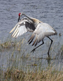 Sandhill Crane Dancing.jpg