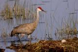 Sandhill Crane Next to Nest.jpg