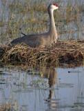 Sandhill Crane on the nest reflection.jpg