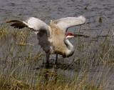 Sandhill Crane wings up.jpg