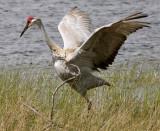 Sandhill Crane wings spread profile.jpg