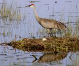 Sandhill Crane Standing at the nest.jpg