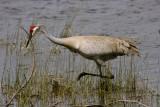 Sandhill Crane Stalking.jpg