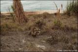 Racoon (Key Biscayne)