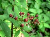 Wild Raspberrys.jpg