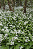 Wild Flowering Garlic