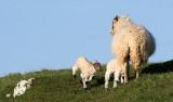 Lambs at Penmon