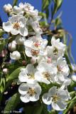 Apple Tree Flowers I
