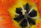 Tulip's Heart