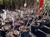 Something for Ceya - Baby Tulip Trees