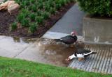 Day for Ducks