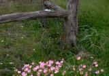 Evening Primrose~Texans Call Them Buttercups