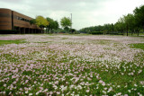 Wildflowers Blooming on the Lawn of First Colony Middle School