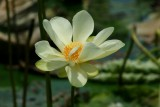 Lunchtime Find - Water Lily