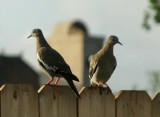Whitewing Doves