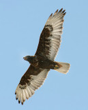 Ferruginous Hawk