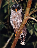 Central American Owls