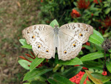 Gray Pansy Male