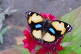 Yellow Pansy Male