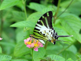 Five Bar Swordtail - Graphium antiphates