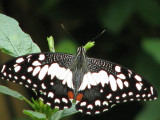 Common Lime - Papilio demoleus malayanus