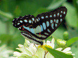 Common Jay - Graphium doson