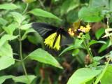 Golden Birdwing - Troides aeacus aeacus