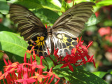 Common Birdwing - Troides aeacus