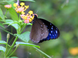 Striped Blue Crow - Euploea mulciber