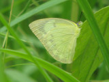 Lemon Emigrant Female