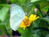Lemon Emigrant Male