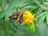 Skipper on Marigold