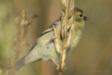 American Goldfinch(Female)