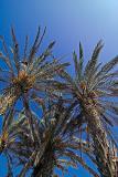 A palm tree Phoenix dactylifera plantation with ripe dates,