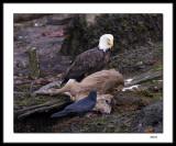 Eagle, raven and deer