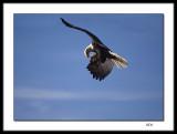 Eagle aerobatics - eating on the fly !
