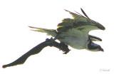 Osprey-with-Eel